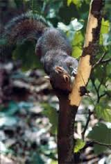 Grey Squirrel Pic